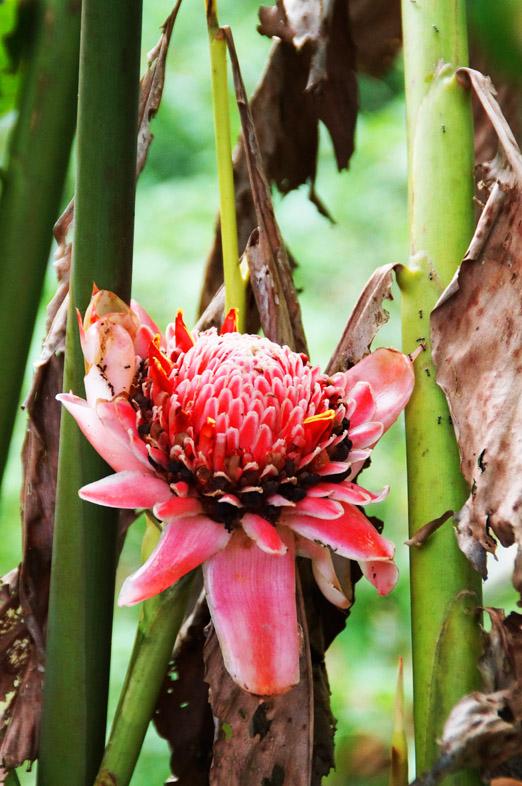 Munduk Moning Plantation _Blume
